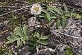 Hydrophyllum capitatum 3229.JPG