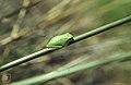 Hyla arborea, Green tree frog on rush near Capeliere Provence (38281147152).jpg