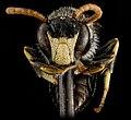 Hylaeus hyalinatus, M, face 2013-01-10-14.41.14 ZS PMax (8404840149).jpg