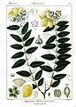 Hypericum hookerianum.jpg