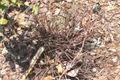 Hypericum reductum.jpg