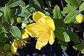 Hypericum x moserianum Tricolor 0zz.jpg