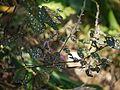 Hypoestes phyllostachya (5593083508).jpg