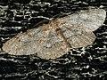Hypomecis punctinalis - Pale oak beauty - Дымчатая пяденица берёзовая (40925779731).jpg