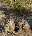 Iberian Lynx cubs 4.jpg