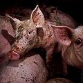 Igualdad Animal - Investigación Granjas Cerdos Toledo - Mayo 2010 1444 (7138489467).jpg