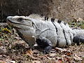 Iguana Strikes a Pose - Uxmal Archaeological Site - Merida - Mexico - 02.jpg