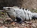 Iguana Strikes a Pose - Uxmal Archaeological Site - Merida - Mexico - 02.jpg