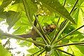 Iguana delicatissima in Picard, Dominica-2012 03 06 0526.jpg