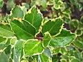 Ilex aquifolium Argentea Marginata 1zz.jpg