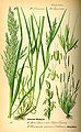 Illustration Chamagrostis minima0.jpg