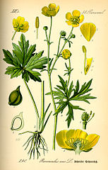 Iskerník prudký (Ranunculus acris)
