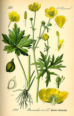 Ranunculus acris - Image: Illustration Ranunculus acris 0