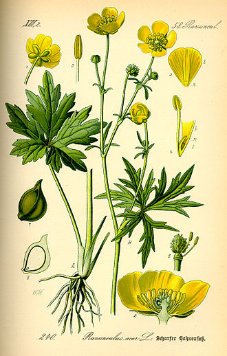 Ranunculus acris - Image: Illustration Ranunculus acris 0