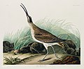 Illustration from Birds of America (1827) by John James Audubon, digitally enhanced by rawpixel-com 237.jpg