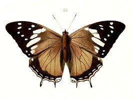 Illustrations of new species of exotic butterflies Charaxes V, Charaxes cedreatis.jpg