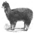 Illustrirte Zeitung (1843) 16 247 1 Das Alpaka.PNG