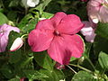 Impatiens hill balsum from lalbagh 2031.JPG