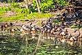 In Kakadu Natl Park E of Darwin N.T - a flock of Magpie Geese ((Anseranas semipalmata) (13113485354).jpg