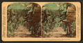 In the heart of a banana plantation, Hawaiian Islands, by Underwood & Underwood 2.png