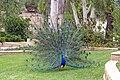 Indian Blue Peacock 01.jpg