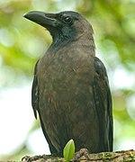 Indian Crow.jpg
