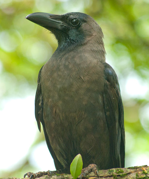 File:Indian Crow.jpg