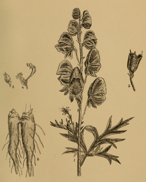 Indian Medicinal Plants - Plate 9 - Aconitum napellus.png