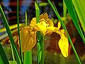 Iris pseudacorus Tata.jpg