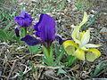 Iris sauvage sainte vistoire.JPG