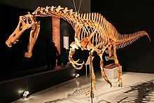 Reconstructed skeleton of a walking spinosaurid facing left at a museum