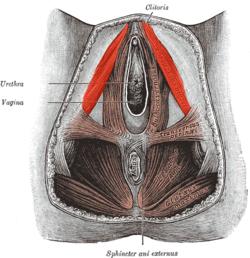 muskel og penis
