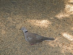 Island Collared Dove - Streptopelia bitorquata - Ninoy Aquino Parks & Wildlife Center 01.jpg