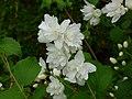 Jaśminowiec (Philadelphus L.) 02.jpg