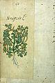 Japanese Herbal, 17th century Wellcome L0030045.jpg