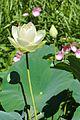 Jardin des Martels - Lotus jaune - 2016-08-07 - 02.jpg
