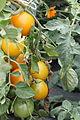 Jardins du muséum, tomate 02.JPG