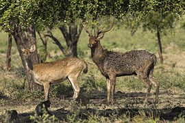 Javan Deer pair - Baluran - East Java (29505341903).jpg