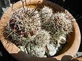 Jf1197Cactaceae Pampanga Unidentified Philippinesfvf 04.JPG