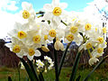 Jonquil flowers.jpg