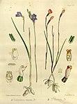 Joseph Dalton Hooker - Flora Antarctica - vol. 3 pt. 2 plate 102 (1860).jpg