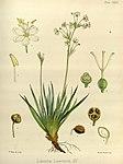 Joseph Dalton Hooker - Flora Antarctica - vol. 3 pt. 2 plate 129 (1860).jpg