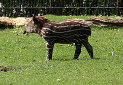 South American Tapir - Wikipedia, the free encyclopedia