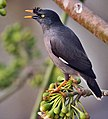 Jungle Myna (Acridotheres fuscus) on Kapok (Ceiba pentandra) in Kolkata I IMG 1340.jpg