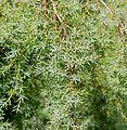 Juniperus - Flickr - S. Rae.jpg