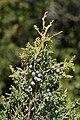 Juniperus maritima 6483.JPG