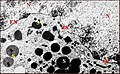 Kaira alba, cellules géantes des glandes agrégées, ultrastructure 4.jpg