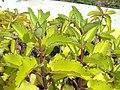 Kalanchoe pinnata (Bryophyllum calycinum) - Jardim Botânico de Brasília - DSC09671.JPG
