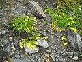 Kaprun, Blumen - panoramio.jpg