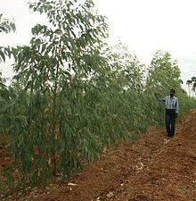 اکالیپتوس Eucalyptus